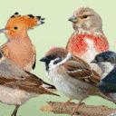 NABU launcht Bird-O-Mat zur Wahl des Vogel des Jahres 2022