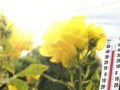 Die Königin der Blumen meistert Wetterextreme - Pflegeleichte und gesunde Pflanzen