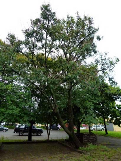 Dalbergia nigra