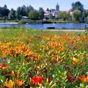 Verver-Blumenzwiebeln-Lilien