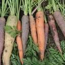 Karotten-Moehren