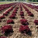 Gemüsekulturen