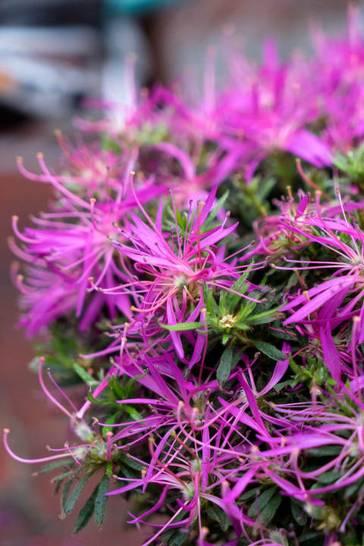 Stylische Azalee erobert Gärten und Kübel