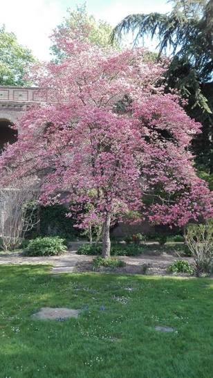 Der alte Blumenhartriegel im Botanischen Garten Karlsruhe blüht – Blühereignis im Mai