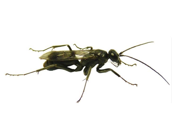 chinesische Ameisenmauer-Wespe