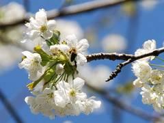 Bienennährgehölze gegen das Bienensterben