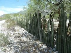 Der Kaktus des Jahres 2020 – der Zaunkaktus, Pachycereus marginatus
