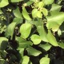 Mit Weitsicht pflanzen: Klimabäume sind besonders anpassungsfähig