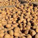Kartoffelernte 2020: Vorjahresergebnis deutlich übertroffen