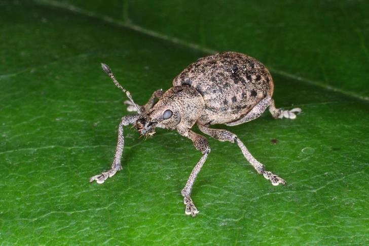 Dickmaulrüssler-Wiesenschnake-pflanzenschutz
