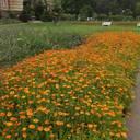 Die Ringelblume, eine Pflanze mit großer Tradition – Blühereignis im Juli