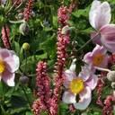 Herbst-Anemone und Kerzen-Knöterich