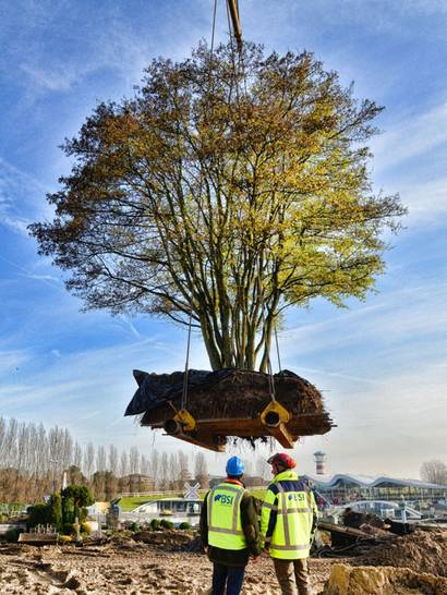 Baum Umpflanzen 80 tonnen am haken spezialisten ziehen große bäume um