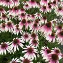 Echinacea Pretty Parasols wurde Online-Favorit in England