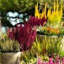 """Die zauberhafte Glockenheide """"Heidi's"""" bringt Farbe ins Leben und in jede Bepflanzung"""