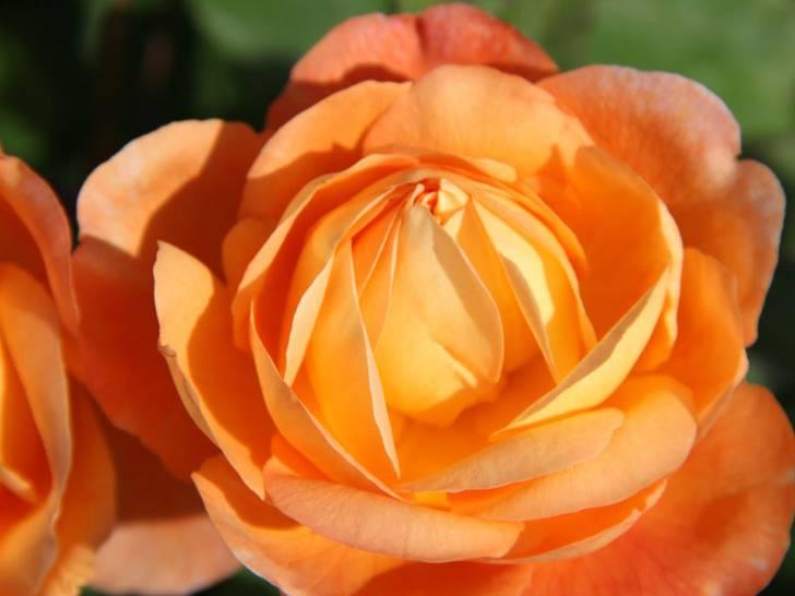 Rosen und die Schaupflanzungen