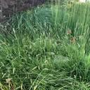 Ganz schön unterschätzt - Blaugräser für die ganzjährige Flächendeckung