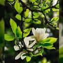 Tulpen-Magnolien