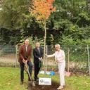 Pflanzung eines Amberbaums