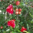 Der Juli im Botanischen Garten: Die Granatäpfel blühen und tragen Früchte