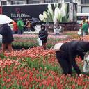 Tulpen zum Selberpflücken