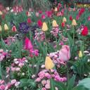Karlsruher Klassiker seit 300 Jahren: Im Botanischen Garten blühen die Tulpen