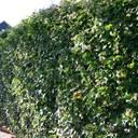 Grüne Mauern