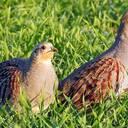 Abwärtstrend bei Feld- und Wiesenvögeln hält an