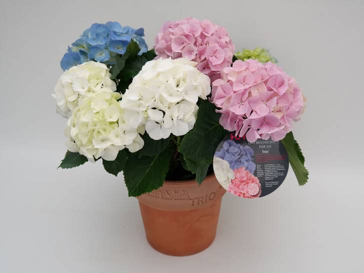 erstmals haltbare farbmischungen f r hortensien entwickelt. Black Bedroom Furniture Sets. Home Design Ideas