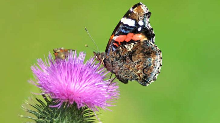 Distel-Schmetterling