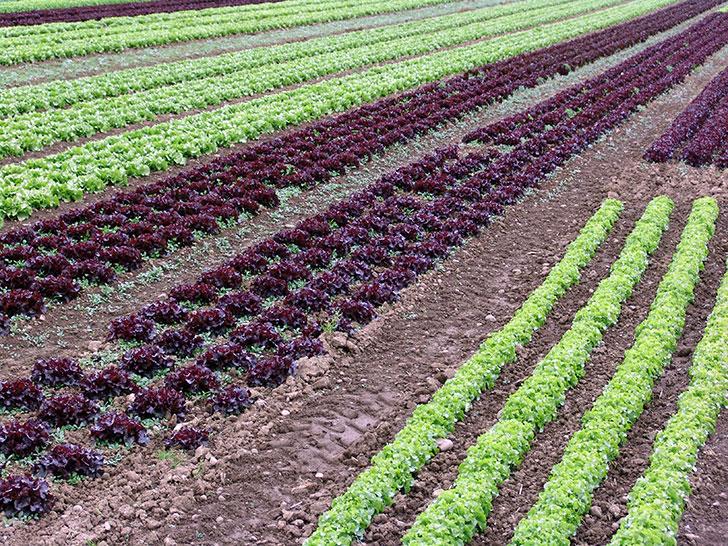 Gemüsebau