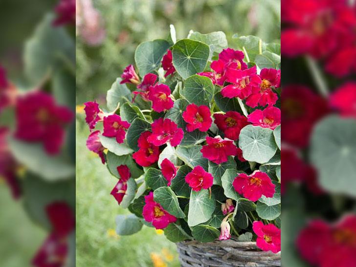 Zierpflanzensorten