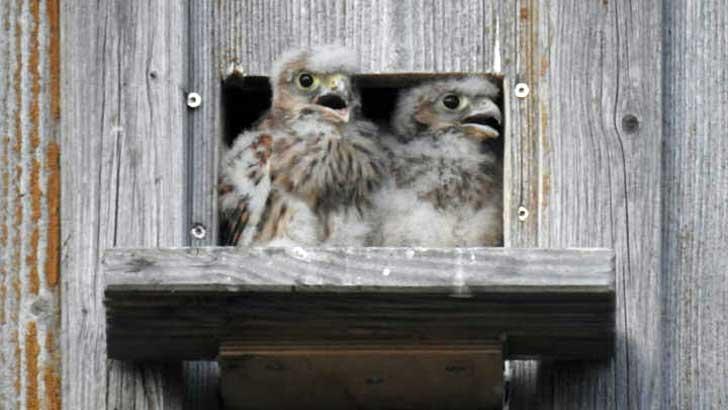 Turmfalken Nestlinge