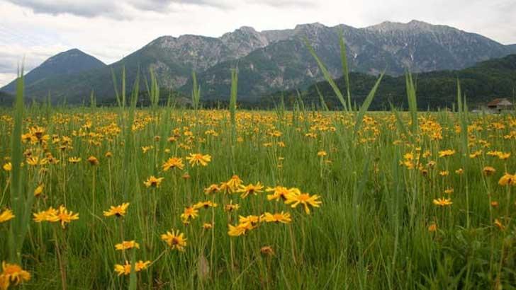 Arnikablüte im Alpenvorland