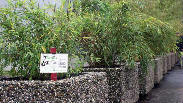 Bambuskübelbepflanzung