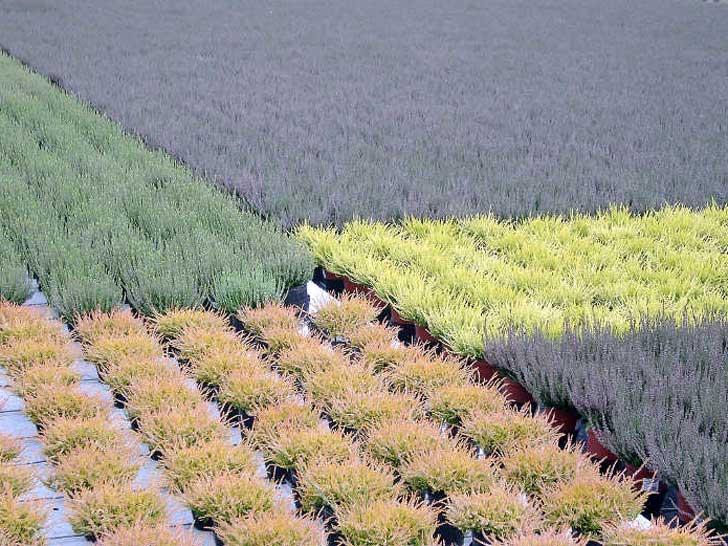 Heidepflanzen