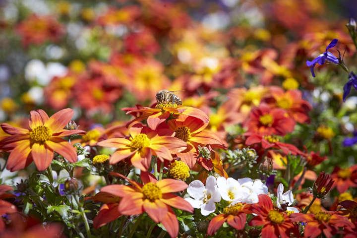 Blühpflanzen für Beet und Balkon leisten wichtigen Beitrag zur Artenvielfalt