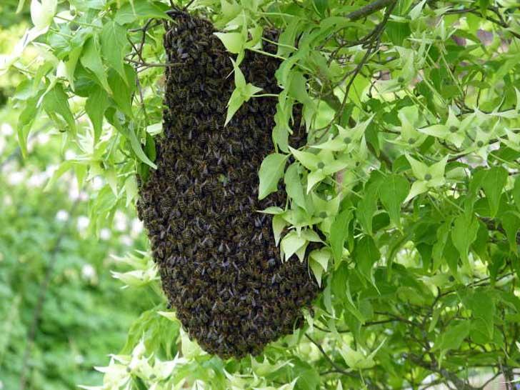 Bienenschwarmtraube