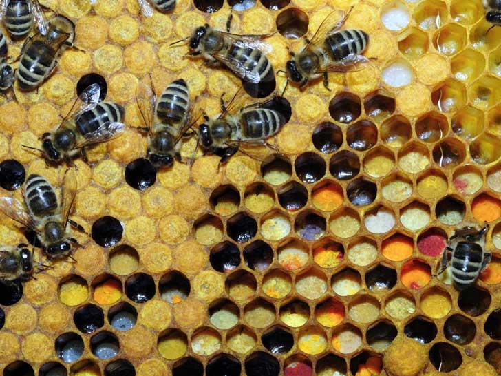 Bienen mit Wabe