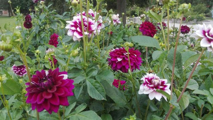 Die Dahlienblüte