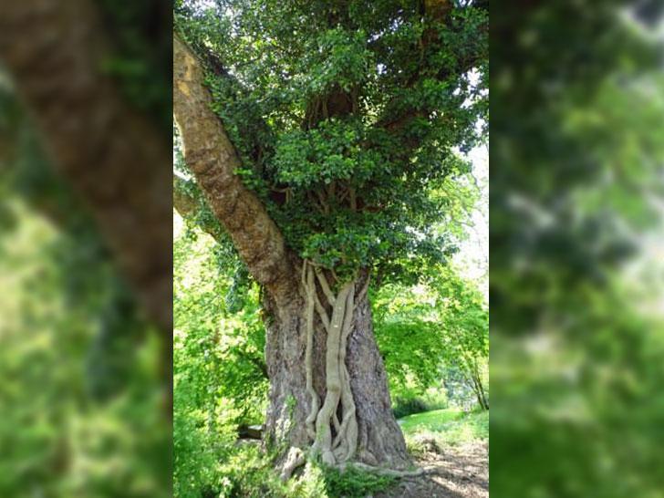 Mit Efeu bewachsene Bäume