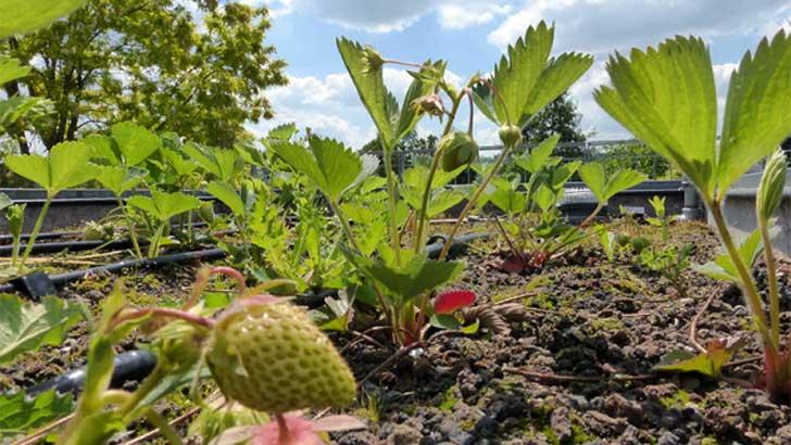 Erdbeeren auf dem Dach
