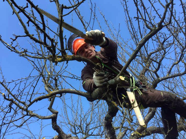 beim Obstbaumschnitt