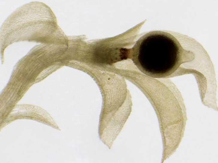 Physcomitrella patens mit Sporenkapsel