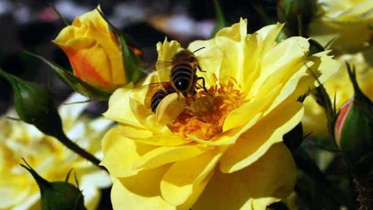 bienenfreundliche Rose