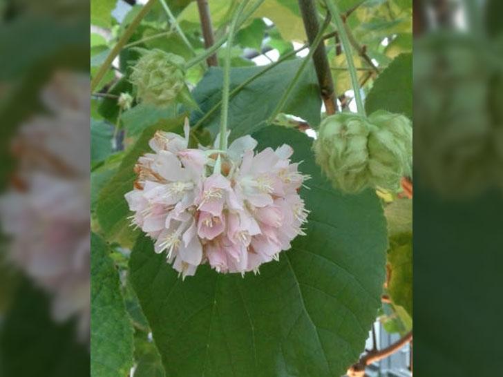 Hortensienbaum