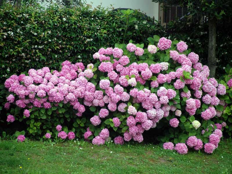 Ausgezeichnete hortensienneuheiten tipps f r das for Gartengestaltung mit buchs und hortensien