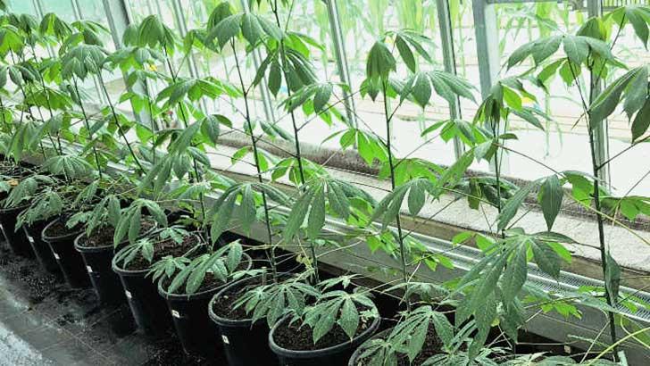 Maniok-Pflanzen
