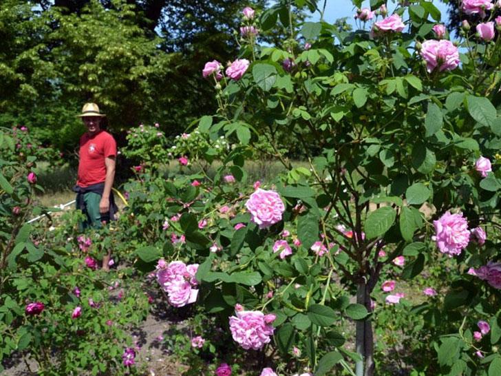 Auf der Berliner Pfaueninsel blühen 200 verschiedene historische Rosensorten