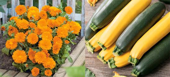 Fleuroselect startet Werbung für 'Jahr der Ringelblume und der Zucchini'